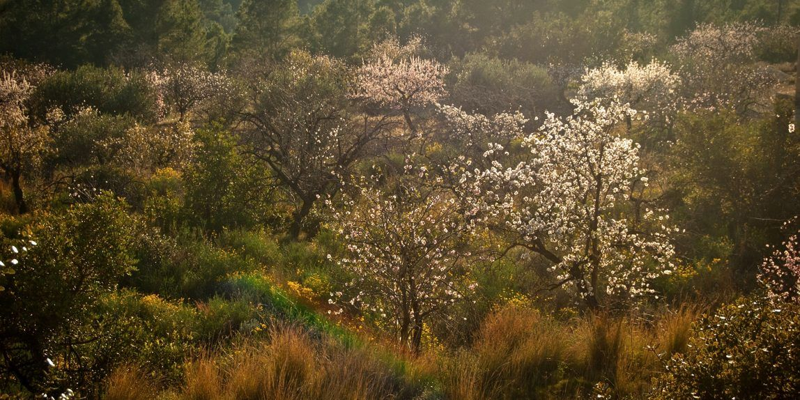 Almond trees in the valley
