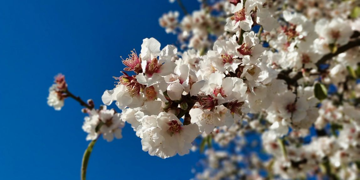 Almond Trees Blooming